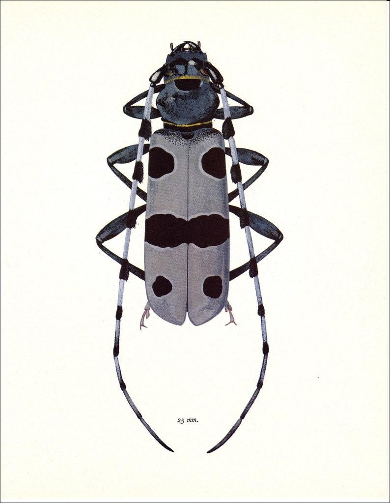 Jahrgang Käfer Kunstdruck grau grau schwarz Rosalia ...