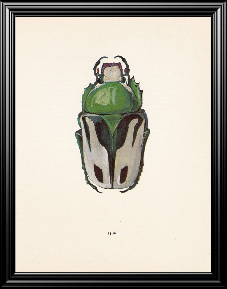 Jahrgang Käfer Insekt Kunstdruck Skarabe Käfer Ranzania | Etsy