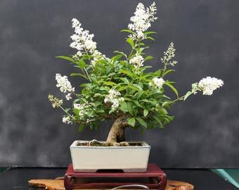 bonsai blue jacaranda jacaranda mimosifolia 5 seeds. Black Bedroom Furniture Sets. Home Design Ideas