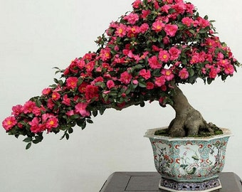 Bonsai - JAPANESE CAMELLIA (Camellia Japonica) 5 seeds