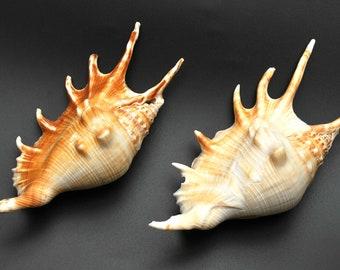 Scorpion Lambis Seashell 4 inch shell whole sale bulk