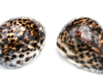 Large 3 inch Tiger Cowrie Shells seashells beach wedding Cypraea Tigris bulk wholesale home decor