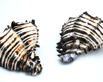 Black Murex  Seashell Brassica  4 inch and 4 1/2 inch  shell wholesale bulk