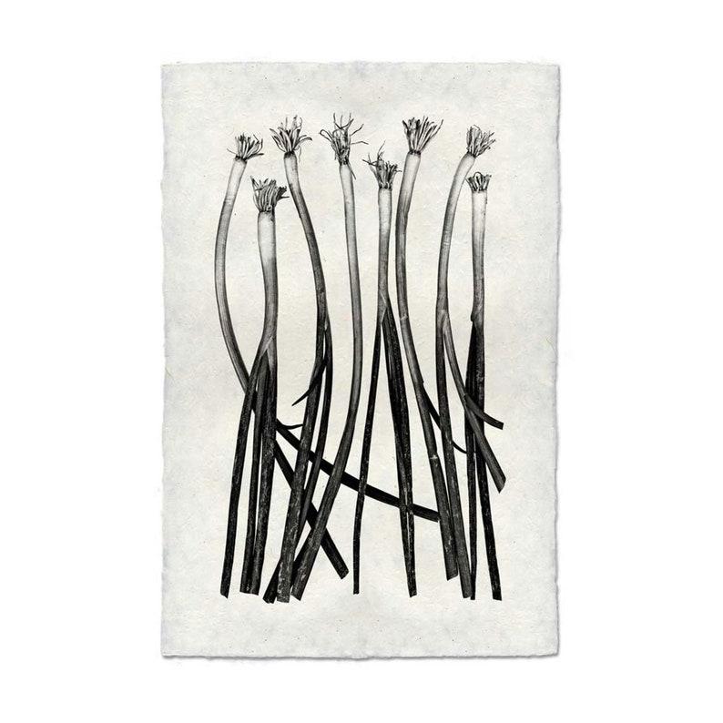 Barloga Green Onions 20x30 Photographic Print on Hand-made Paper