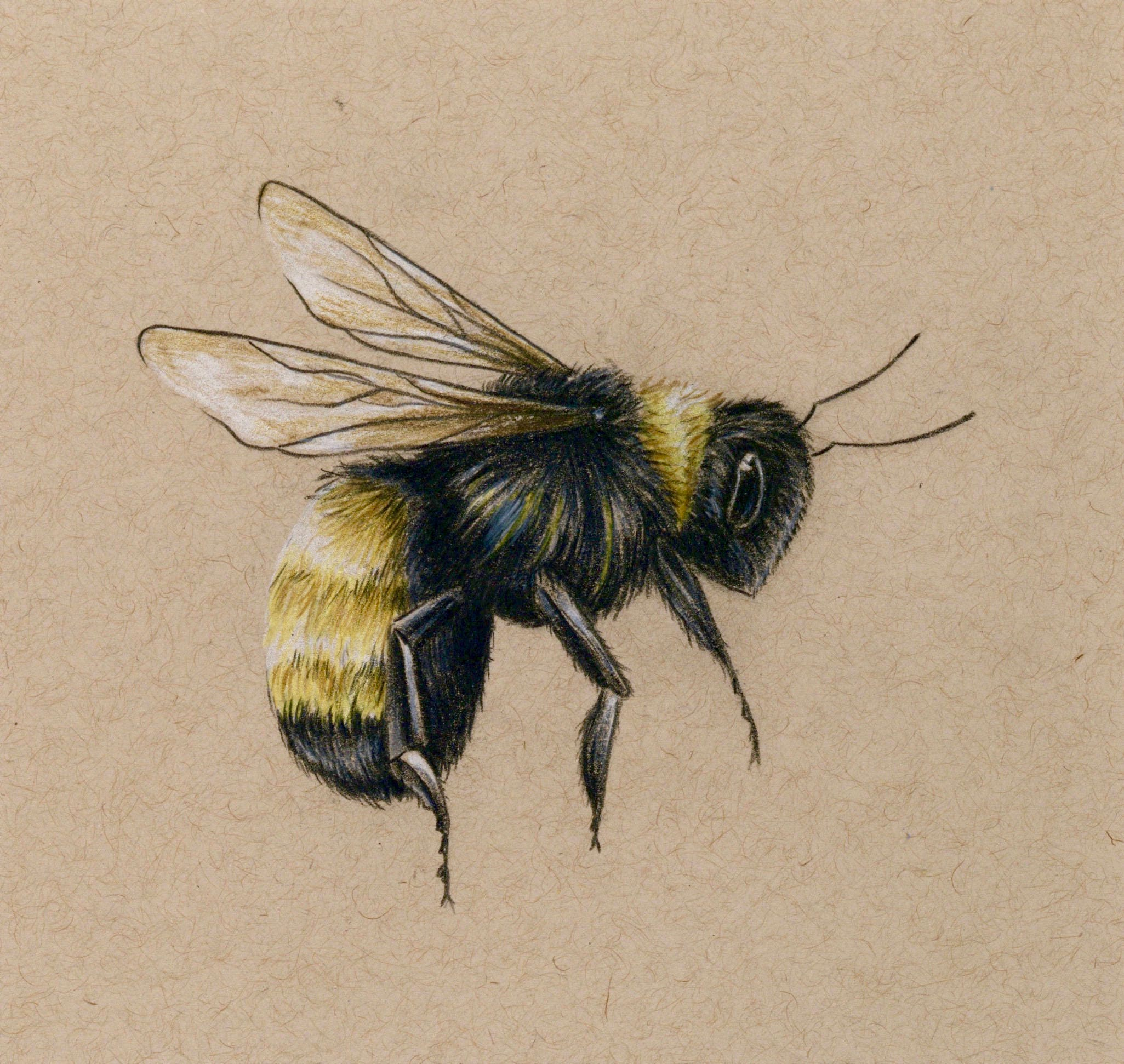 Bee Art Print Drawing Colored Pencil Bee Flying Etsy