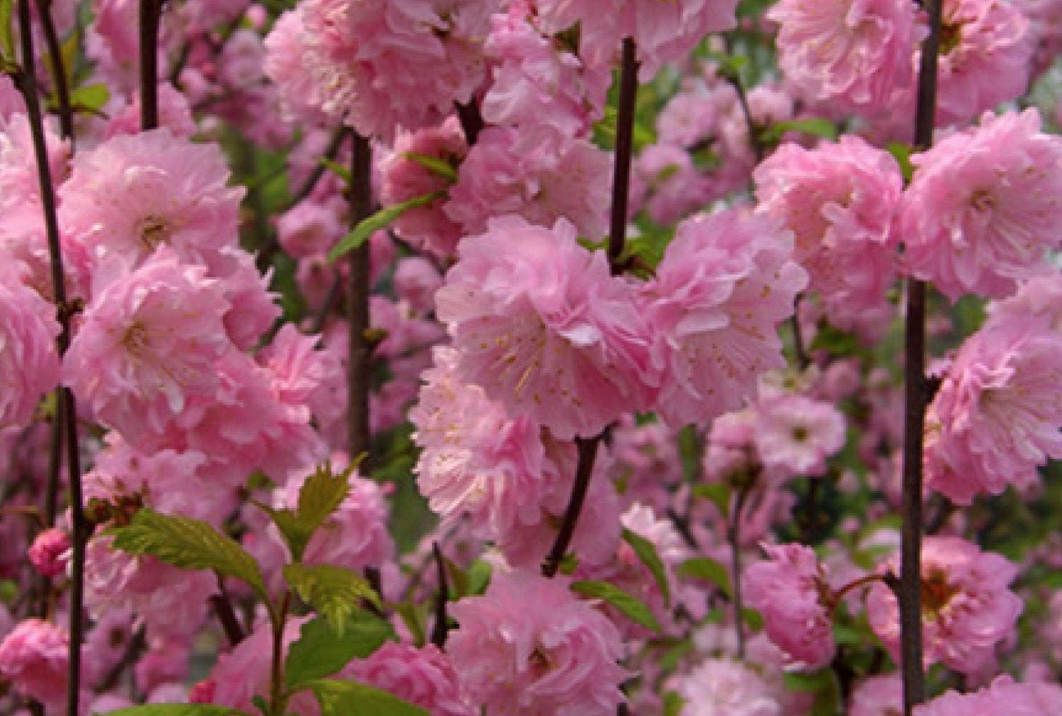 1 Shrubs Double Pink Flowering Almond 2 Foot Tall Potted And It Is
