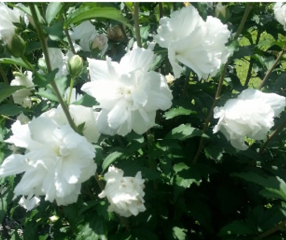 1 Shrubs White Double Rose Of Sharon Bush 2 Foot Tall