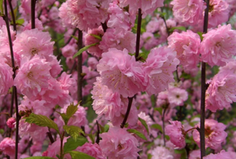 Flowering Almond Shrubs Topsimages