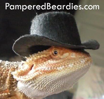 001477c3089 TOP HATS for your Bearded Dragon, Snakes, & Small Pets! Two sizes.