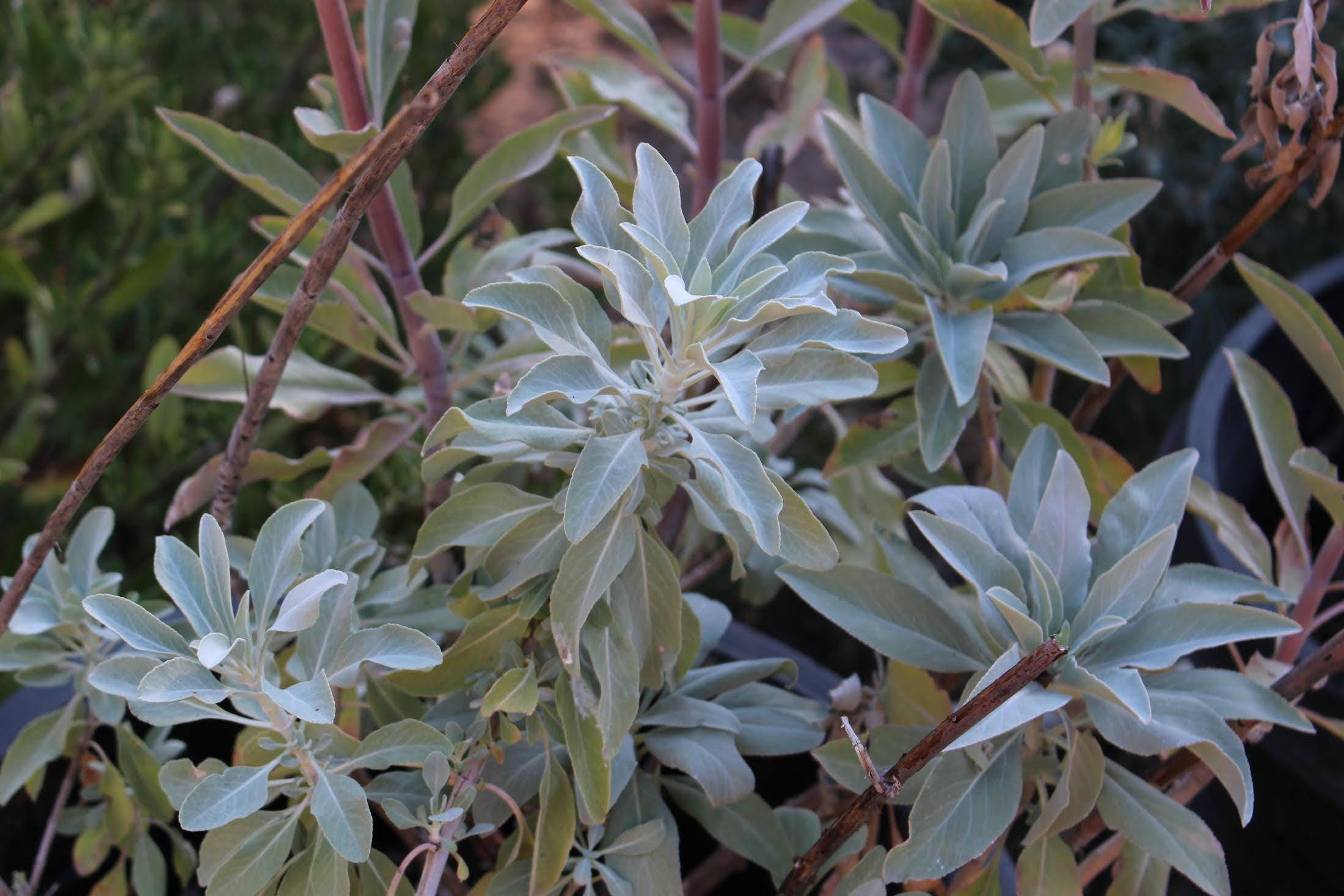 White Sage Seeds Salvia Apiana Etsy