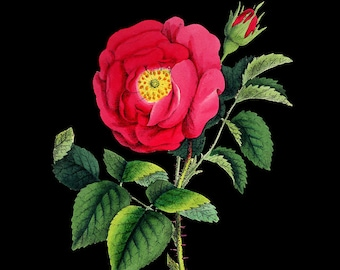 French Botanical Print with Black Background - Rose Print - Flower Poster - Red Wall Art Home Decor #vi713
