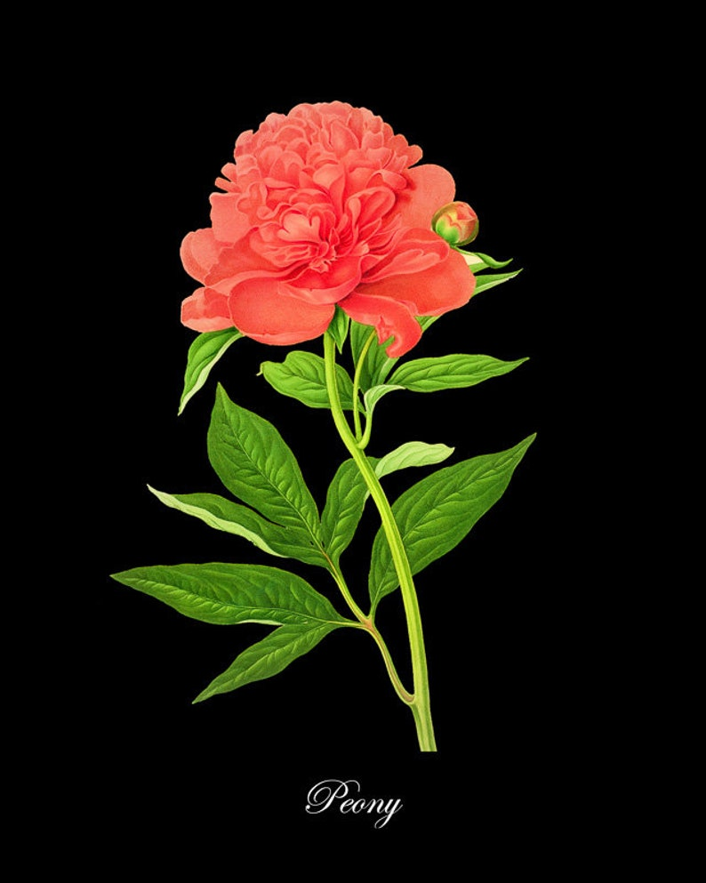Stampa Botanica Francese Con Sfondo Nero Rosa Peonia Stampa Etsy