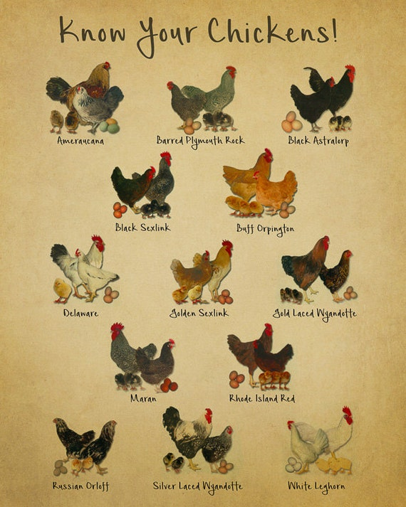 Chicken breeds chart print vintage poultry print chicken etsy