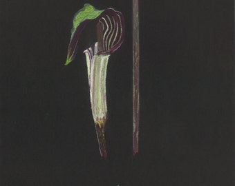 Print of an original pastel drawing of a jack in the pulpit wildflower