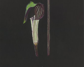 Original pastel drawing of a jack in the pulpit wildflower