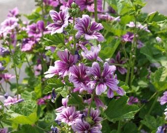 "Flower seeds ""Zebrina Malva"" for the garden. 50 Seeds"