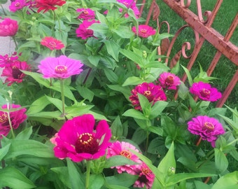 Giant and multicolored produsion Zinnia flower seeds for the garden. 75 seeds