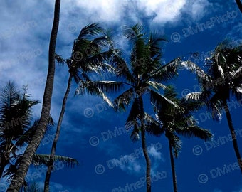 1958 Palm Trees against deep blue sky, Hawaii, Vintage Photograph for Instant Digital Download