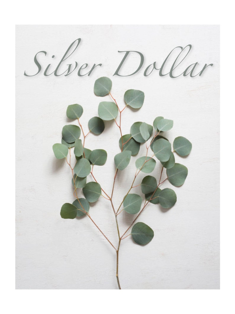 1 lb Fresh Silver Dollar Eucalyptus Sprigs   Wedding Greenery image 0