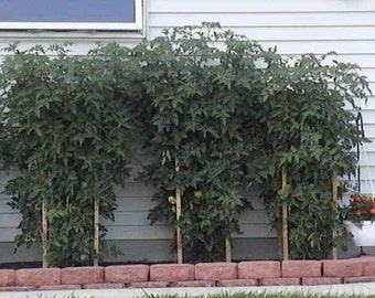 Adjustable Wooden Tomato/Plant Towers