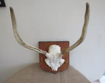 Deer Muntjac Antlers Trophy Mounting Plaque Shield