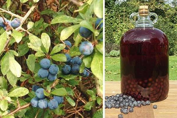 How To Make Sloe Gin >> Sloe Gin Recipe Homebrew Make Your Own Brewing Sloes