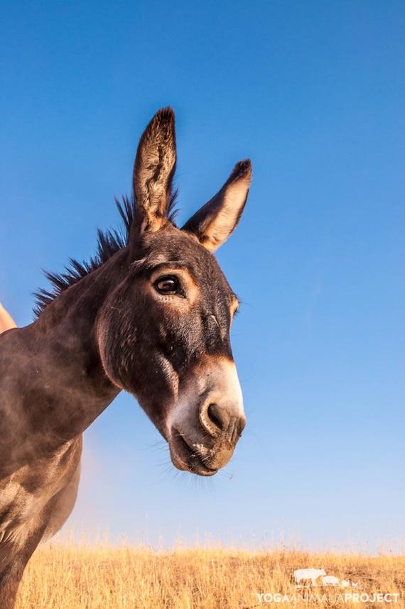 Farm Animal Rescue Portrait Photography Bobby Donkey