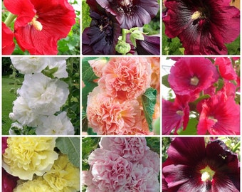 100 mixed Hollyhock seeds from 2017