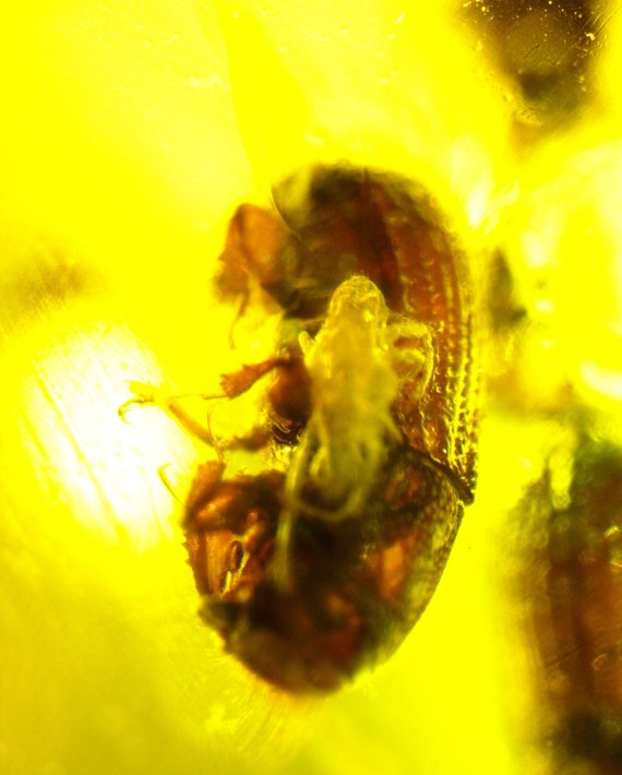 Excellent size 1.1 inch for a Pendant, 50mio years old bugs insects Amber Fossil, free drilling