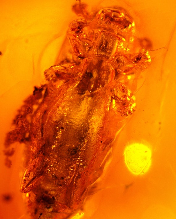 5mm big Flying Insect, Bug  Fifty Mio years old, Dominican amber fossil 30mm
