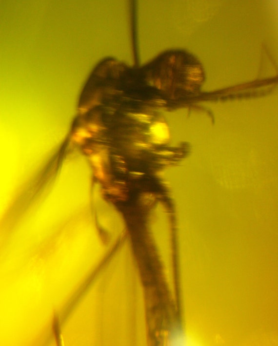 Biggest Mosquito 15mm Dominican Natural Amber Fossil  flying insect