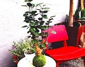Fabian aralia stump (Large) Kokedama - Feel the forest at your home!