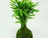 Parlor Palm Kokedama - Mo...