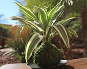 Dracaena Warneckii green ...