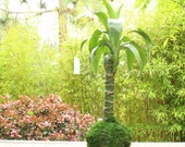 Dracaena yellow corn plan...