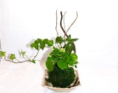 Arranged Kokedama with ri...