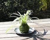 Spider plant (Chlorophytu...