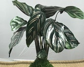 Calathea Pin - Stripped O...