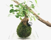 Kokedama - Bonsai Moss ba...