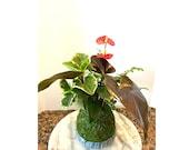 Anthurium + Mahogany Fern + Peperomia arranged kokedama -- Bonsai Moss ball -  house decor with Japanese technique plants!