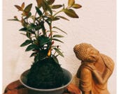 Gold Fish Kokedama - Moss...