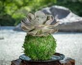 Rosette Succulent Succule...