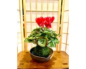 Cyclamen Kokedama - Moss ball with beautiful color flower. Best gift for Mother's Day, Valentine-day or holiday!