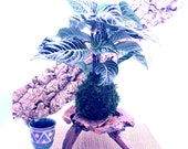 Zebra large plant kokedam...