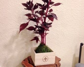Purple Iresine Kokedama, ...