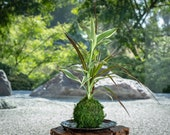 Dracaena Marginata with c...