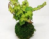 Ivy Kokedama - Moss ball,...