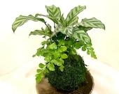 Calathea and Mahogany fern Combo Kokedama - Bonsai Moss ball - Japanese house plant decoration