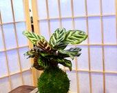 Calathea makoyana Kokedama - Bonsai Moss ball - Japanese house plant decoration