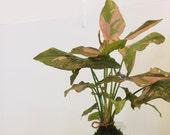 Pink Syngonium Kokedama -...
